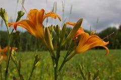 Feche acima das íris selvagens do verão no prado Foto de Stock