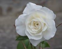 Feche acima das únicas pétalas da flor da rosa do branco do sepia, fundo do bokeh imagem de stock royalty free