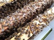 Feche acima das abelhas em quadros de madeira Fotografia de Stock Royalty Free