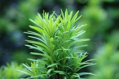 Feche acima das agulhas novas do Taxus, verde-clara na mola Fotografia de Stock