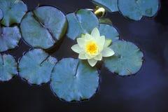 Feche acima das almofadas de lírio, jardins de Huntington, Pasadena, CA Imagens de Stock Royalty Free