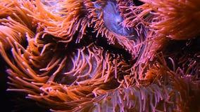 Feche acima das anêmonas de mar cor-de-rosa na água do aquário video estoque