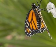 Feche acima das asas de secagem do monarca Fotografia de Stock