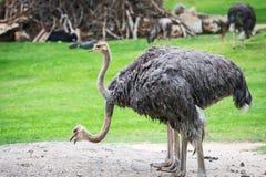 Feche acima das avestruzes, Imagem de Stock