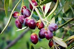Feche acima das azeitonas na oliveira em Grécia fotografia de stock
