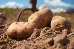 Feche acima das batatas e da forquilha do jardim no campo foto de stock