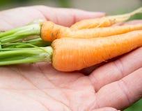 Feche acima das cenouras novas nas mãos da mulher Fotografia de Stock