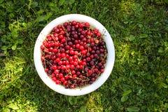 Feche acima das cerejas maduras com hastes e folhas Imagens de Stock Royalty Free