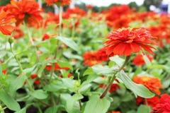 Feche acima das cores vermelhas da flor da flor de Elegans do Zinnia no fundo verde das folhas Foto de Stock