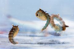Crisálidas e larva do mosquito fotos de stock royalty free