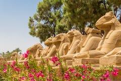 Feche acima das estátuas na aleia de Ram Headed Sphinxes com as flores dos oleandros no templo de Karnak em Luxor, Egito fotos de stock royalty free