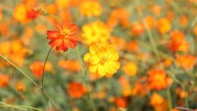 Feche acima das flores alaranjadas do cosmos no campo filme