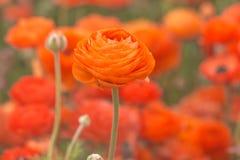 Feche acima das flores alaranjadas do ranúnculo em um campo fotografia de stock royalty free