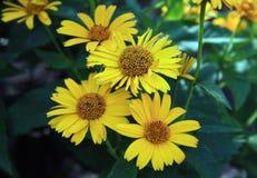 Feche acima das flores amarelas da flor da margarida Imagens de Stock