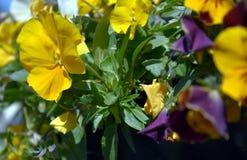 Feche acima das flores amarelas do amor perfeito fotografia de stock
