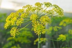 Feche acima das flores amarelas do aneto no jardim vegetal Ramo de florescência do vulgare do Foeniculum da erva-doce Concepção d foto de stock