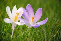 Feche acima das flores azuis e brancas do açafrão Foto de Stock
