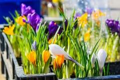 Feche acima das flores bonitas do açafrão para a venda Foto de Stock Royalty Free