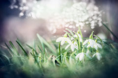Feche acima das flores bonitas dos snowdrops na grama com bokeh, natureza exterior da mola Fotos de Stock