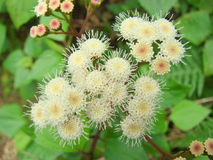 Feche acima das flores brancas Imagem de Stock Royalty Free