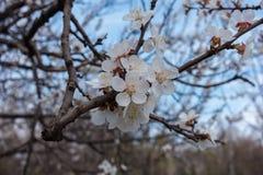 Feche acima das flores brancas do abricó Imagens de Stock