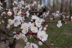 Feche acima das flores brancas do abricó com estames amarelos Imagens de Stock