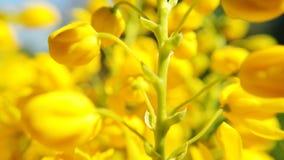 Feche acima das flores coloridas do canola Flor amarela de florescência da colza video estoque