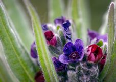 Feche acima das flores coloridas do officinale do Cynoglossum da Cão-língua em seu habitat típico das dunas de areia, Formby, Sef imagem de stock