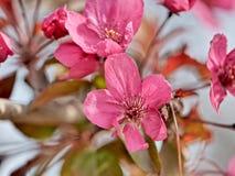 Feche acima das flores da árvore de maçã selvagem na flor completa fotografia de stock