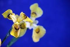 Feche acima das flores da íris amarela Imagem de Stock Royalty Free