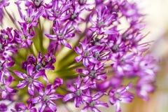 Feche acima das flores da cebola da flor no jardim, horas de verão Fotos de Stock