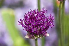 Feche acima das flores da cebola da flor no jardim, horas de verão Imagem de Stock Royalty Free