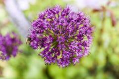 Feche acima das flores da cebola da flor no jardim, horas de verão Foto de Stock Royalty Free