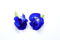 Feche acima das flores da ervilha azul da borboleta no fundo branco foto de stock royalty free