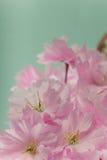 Feche acima das flores da flor de cerejeira da mola Imagem de Stock