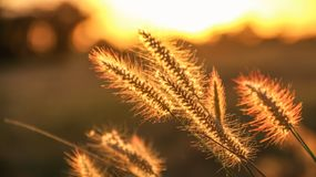 Feche acima das flores da grama com efeito da luz da borda durante o sunse Fotos de Stock