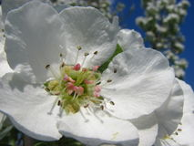 Feche acima das flores da pera contra o céu azul sob sunlights Imagens de Stock Royalty Free