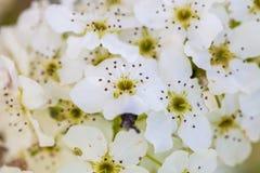 Feche acima das flores de cerejeira brancas de florescência no ramo, fundo Foto de Stock Royalty Free