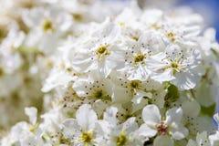 Feche acima das flores de cerejeira brancas de florescência no ramo, fundo Imagem de Stock