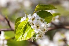 Feche acima das flores de cerejeira brancas de florescência no ramo, fundo Fotos de Stock Royalty Free