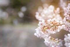 Feche acima das flores de cerejeira da mola, Sakura Background com lig macio Imagem de Stock