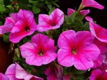 Feche acima das flores de florescência coloridas do petúnia, fundo natural foto de stock