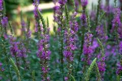 Feche acima das flores de florescência da alfazema imagem de stock