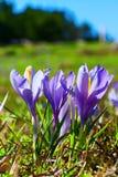 Feche acima das flores de florescência da mola dos açafrões Fotografia de Stock