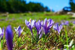Feche acima das flores de florescência da mola dos açafrões Imagens de Stock