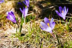 Feche acima das flores de florescência da mola dos açafrões Foto de Stock