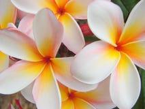 Feche acima das flores de florescência do frangipani Fotos de Stock Royalty Free
