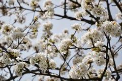 Feche acima das flores de florescência do ramo de árvore da cereja no tempo de mola Profundidade de campo rasa Detalhe da flor de Fotos de Stock Royalty Free
