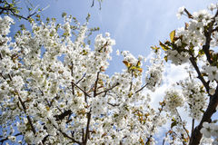 Feche acima das flores de florescência do ramo de árvore da cereja no tempo de mola Profundidade de campo rasa Detalhe da flor de Imagem de Stock Royalty Free