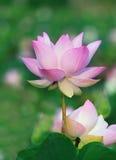 Feche acima das flores de lótus do rosa da pétala na associação de água Imagem de Stock Royalty Free
